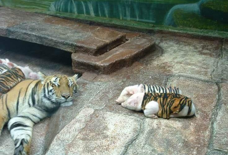 扮猪吃老虎吗?